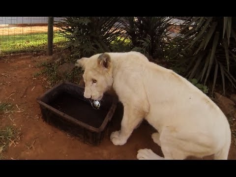 Working with big cats in africa