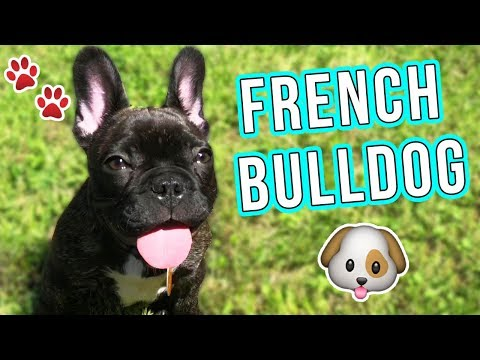 ALL ABOUT HOLDEN! MY FRENCH BULLDOG!!! 🐶